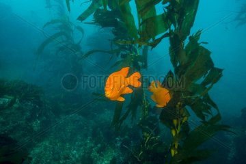 Garibaldi Damselfish and Kelp - Channel Islands California
