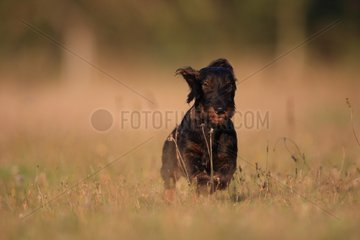 Wire-haired Dachshund puppy running in a meadow France