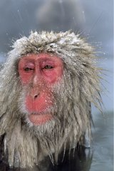 Japanese macaque in warm spring Honshu Japon