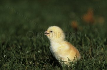 Old chick of 1day France