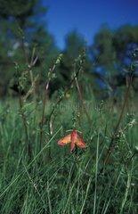 Petit Pourceau posé sur une herbe France