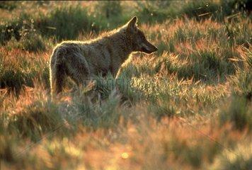 Loup ibérique attentif à son environnement Espagne