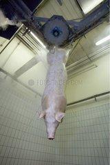 Porc suspendu avançant dans la chaîne d'abattage
