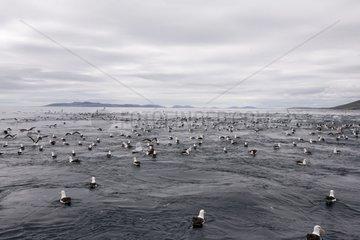Multitude of Albatross fishing West Point Island Falklands