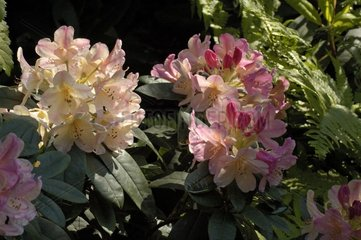 Rhododendron Percy Wiseman in May