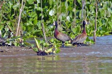 White-faced Whistling Duck on riverbank - Pantanal Brazil