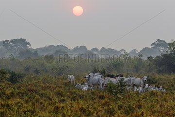 Herd of Cows at sunrise - Pantanal Brazil