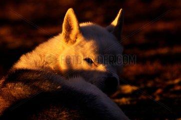 Siberian Husky at sunset Prins Karls Forland Svalbard