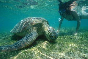 Touriste observant une tortue verte broutant