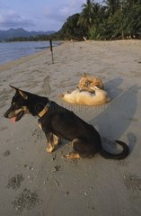 Group Dogs exploiting on a sand beach Ko Chang Thailand
