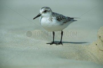 Bécasseau sanderling sur une plage de sable blanc Porto Rico