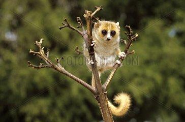 Microcèbe réserve de Berenty Madagascar