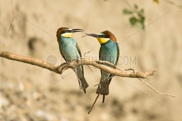 European bee-eaters on a branch Provence France