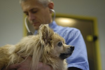 Auscultation of a dog type Spitz by a veterinarian France