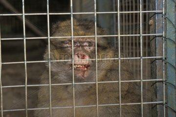 Magot dans une cage France