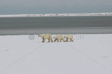 Family of Polar bear walking on the ice-barrier