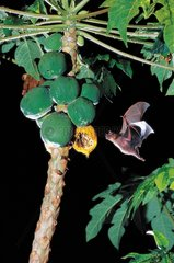 Jamaican Fruit-eating Bat coming to eat a papaw Guadeloupe