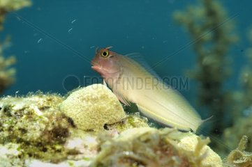 Blenny fish posed on sea bottom