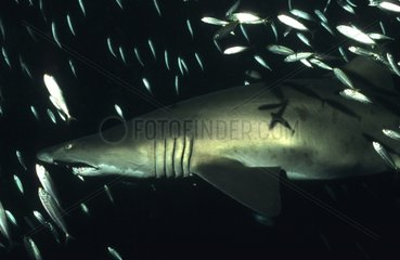 Requin taureau nageant près d'une épave banc de poissons USA