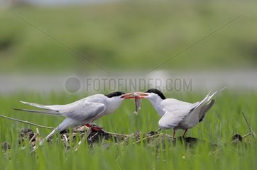 Common Tern male giving a fish Kerkini lake Greece