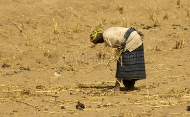 Dogon woman collecting stem of millet Country Dogon Mali