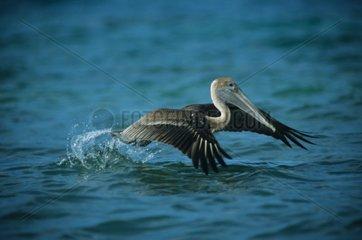 Pélican brun décollant Porto Rico