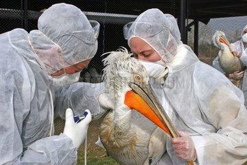 Vaccination anti-H5N1 d'un Pélican par les soigneurs du parc