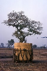Shea tree protected for harvest Burkina-Faso