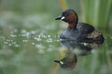Little Grebe and its reflection leaving a Reed bed Jura