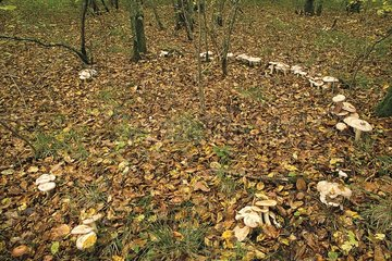 Bitter Poisonpies in fairy ring in undergrowth France