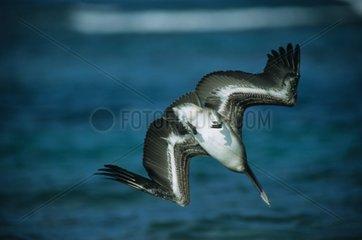 Pélican brun plongeant Porto Rico