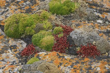 Pioneer plants and lichens on rocks Falklands Islands