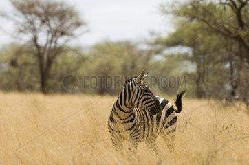 Grant's zebra in the savanna Meru Kenya