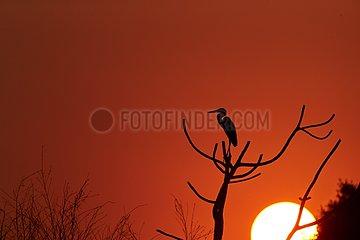Cocoi heron on a branch at sunset - Pantanal Brazil