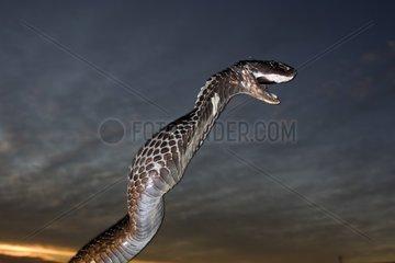 Egyptian Cobra threatening in the desert Morocco