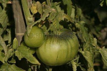 Tomates sur pied Alsace