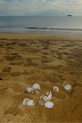 Leatherback turtle eggs destroyed by stray dog French Guiana