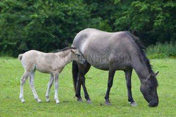 Tarpan female and foal grazing Poland