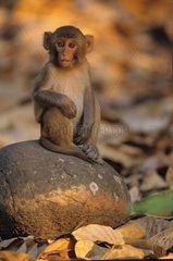 Young Rhesus monkey sitting on a rock Corbett NP