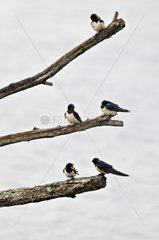 Swallows in staging Bassin d'Arcachon Aquitaine France