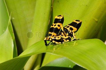 Poison Arrow Frog living in Bromeliaceae Venezuela