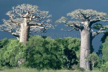 Baobab and forest Madagascar
