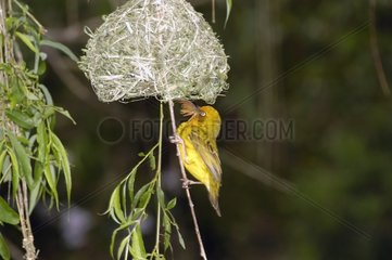 Tisserin du Cap construisant son nid