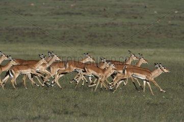 Impalas herd running Masai Mara Kenya