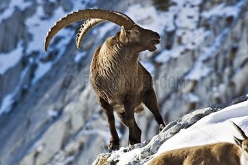 Male ibex in period of rut Massif des Bornes France