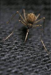 Moustique piquant à travers un vêtement France