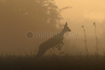 Jump of a Chevrette surprised at sunrise in summer
