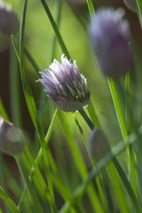 Umbel of Chive in the spring France