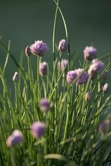 Chives in bloom in the spring in a garden France