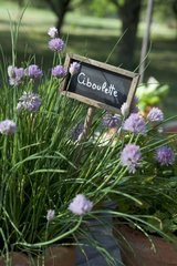 Chives in bloom and slate sign in a garden France